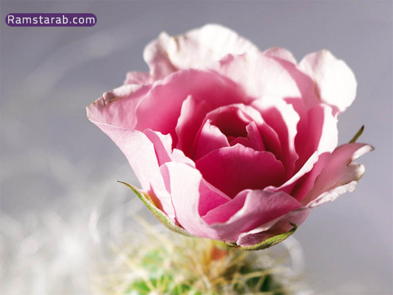 صورة وردة جميلة 2