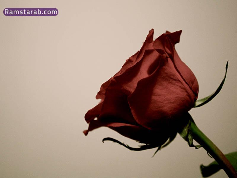 صورة وردة جميلة