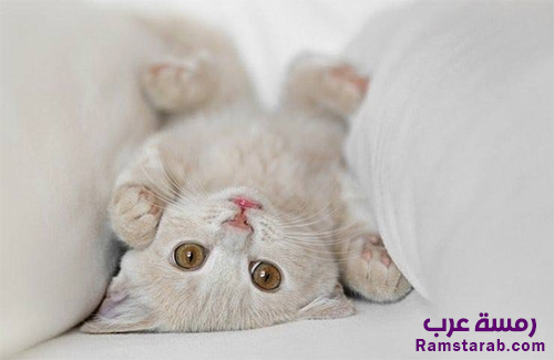 ee0e8d8b62769 صور قطط 1 صور قطط جميلة عالية الجودة