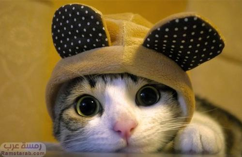 6bd0d37deaeec صور قطط بجودة عالية اجمل قطط صغيرة