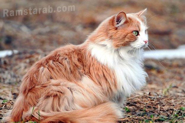 قطة بشعر طويل