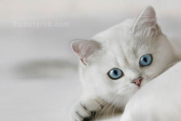 قطة بعيون زرقاء