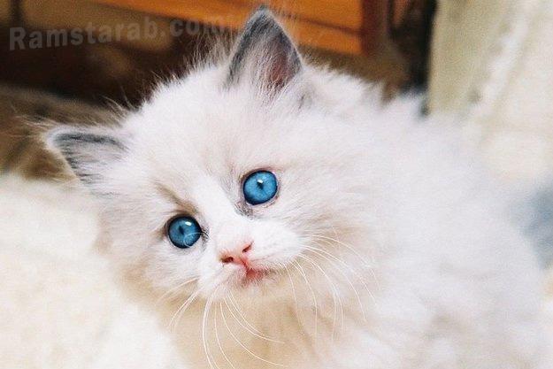 قطة جميلة بعيون ملونة