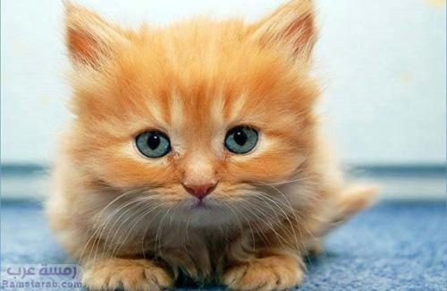 قطة مشمشي صغيرة
