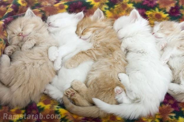 قطط نائمة
