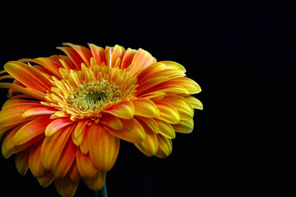 خلفية سوداء وزهرة