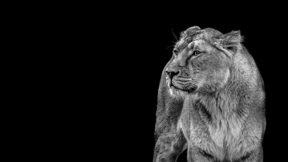 خلفية نمر سوداء