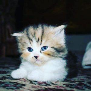 صور قطط شقية12