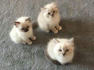 صور قطط شقية8