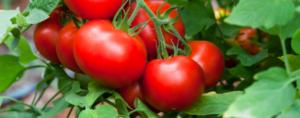 صور رمزية طماطم15