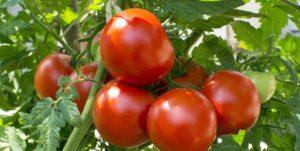 صور رمزية طماطم17