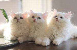 صور قطط رومي10