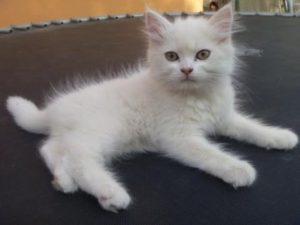 صور قطط رومي12