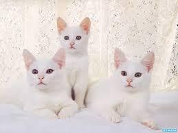 صور قطط رومي22