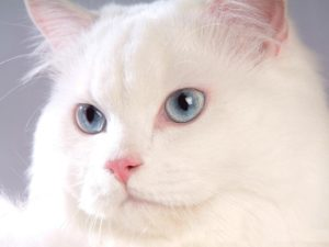 صور قطط رومي29