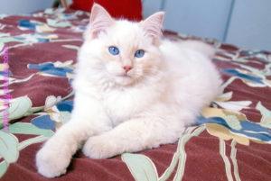 صور قطط رومي4