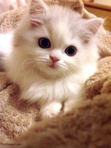 صور قطط رومي6