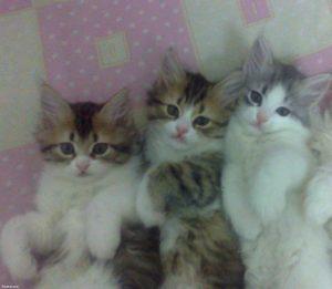 صور قطط رومي9