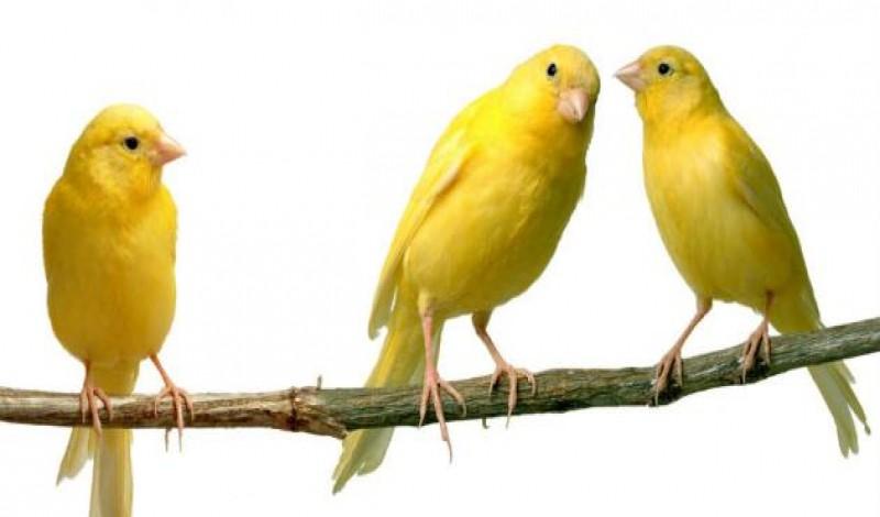 صور عصافير18