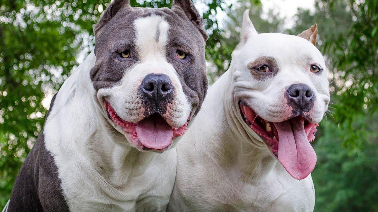 صور كلاب بيتبول17