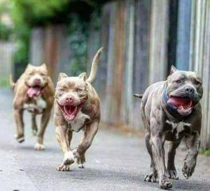 صور كلاب بيتبول25