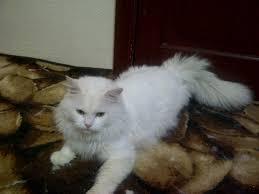 صور قطط رومي