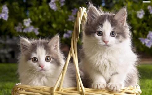 صور قطط رومي11