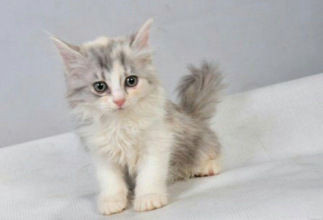 صور قطط رومي15