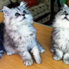 صور قطط رومي19
