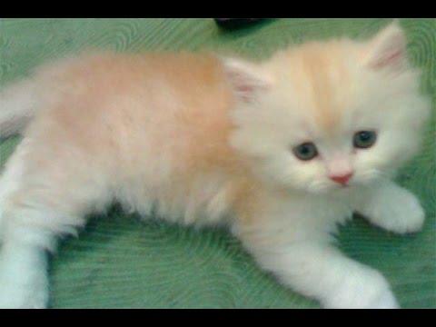 صور قطط رومي2