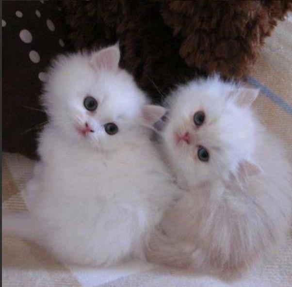 صور قطط رومي21