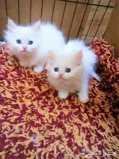 صور قطط رومي3