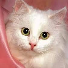 صور قطط رومي30