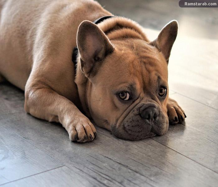 تحميل صور كلاب بيت بول 2