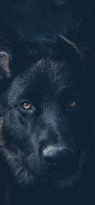 خلفية كلب اسود جودة عالية