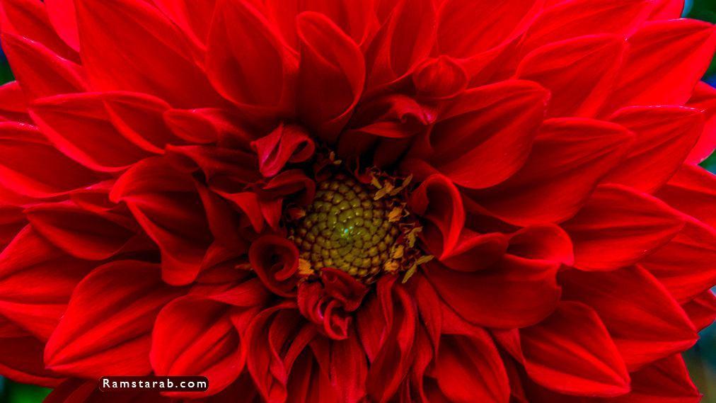 صور ورد أحمر23