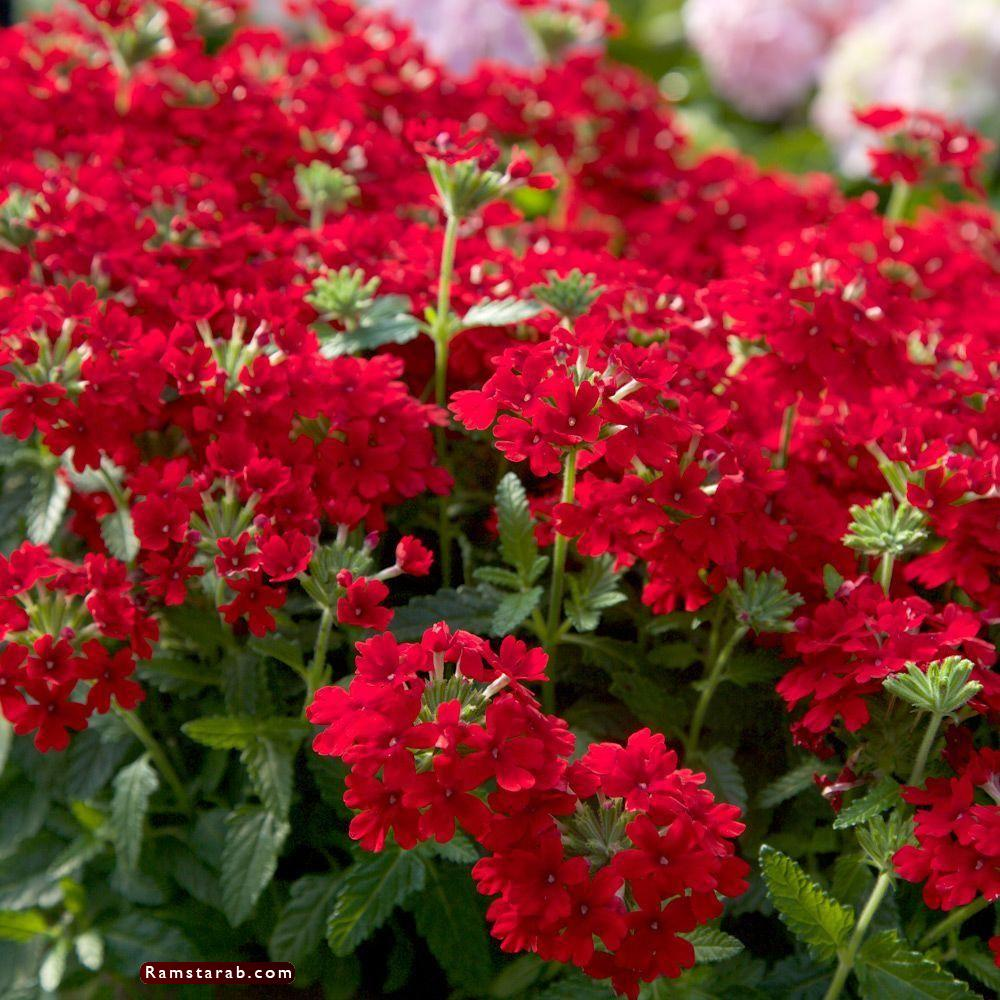 صور ورد أحمر22