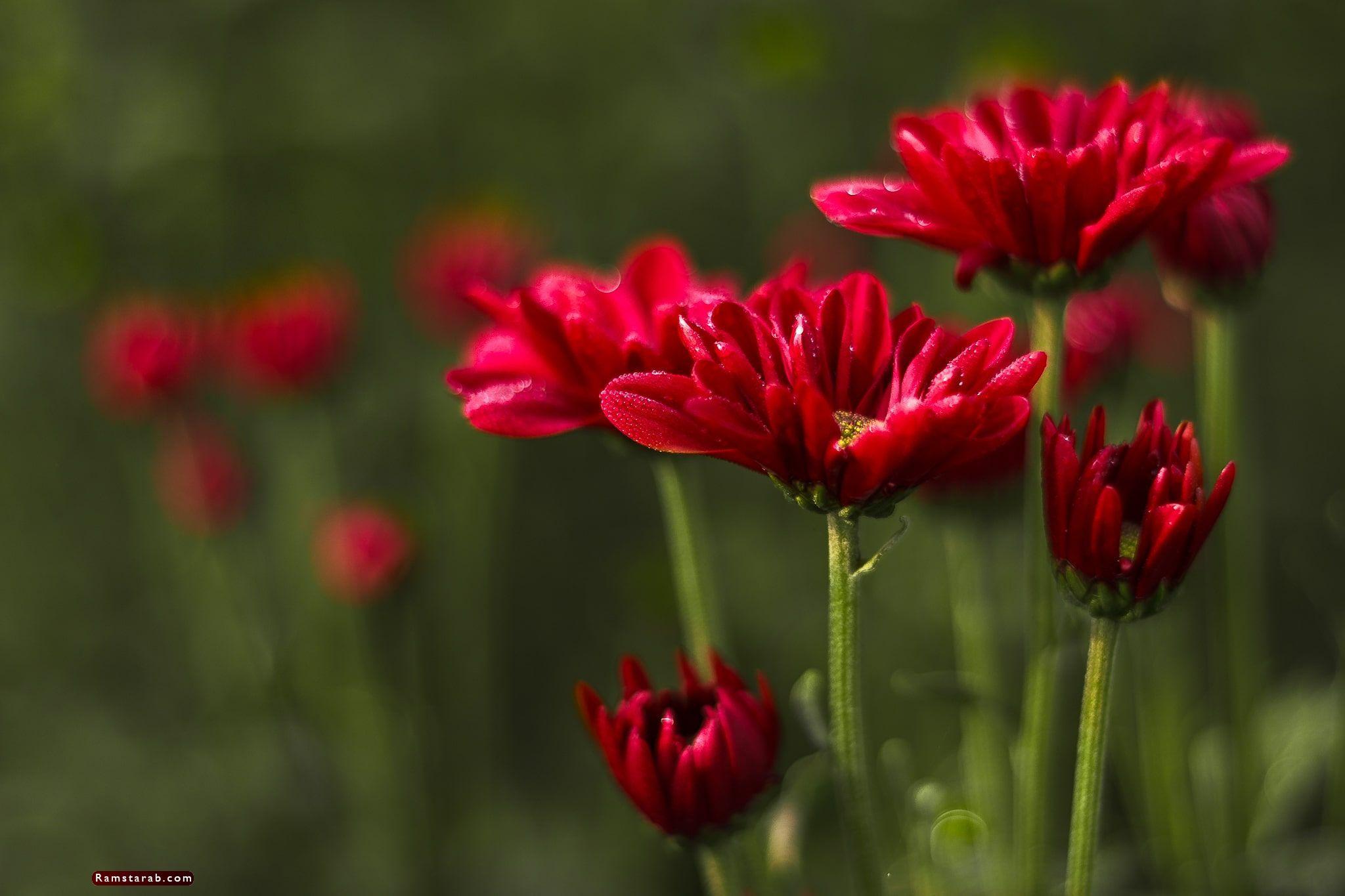 صور ورد أحمر6