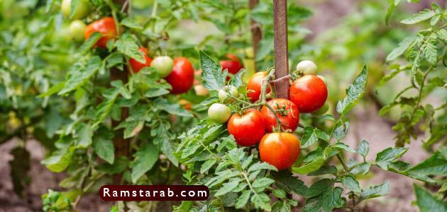 طماطم21