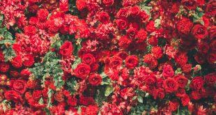 ورد احمر2