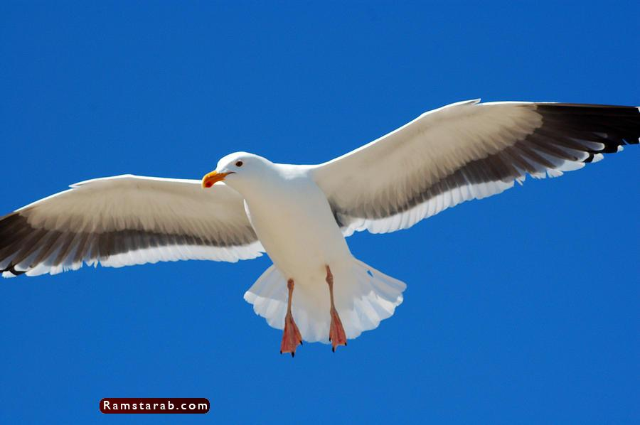 طائر النورس4