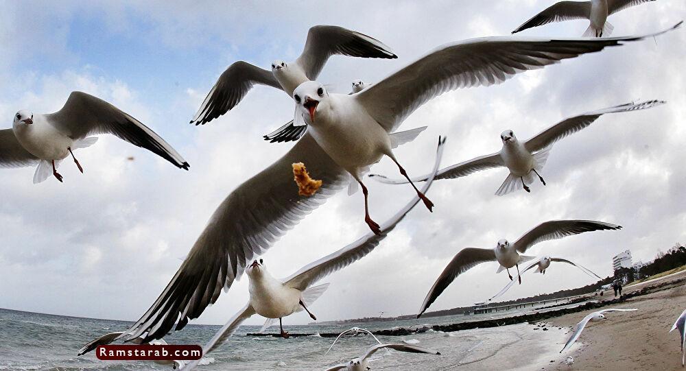 طائر النورس18