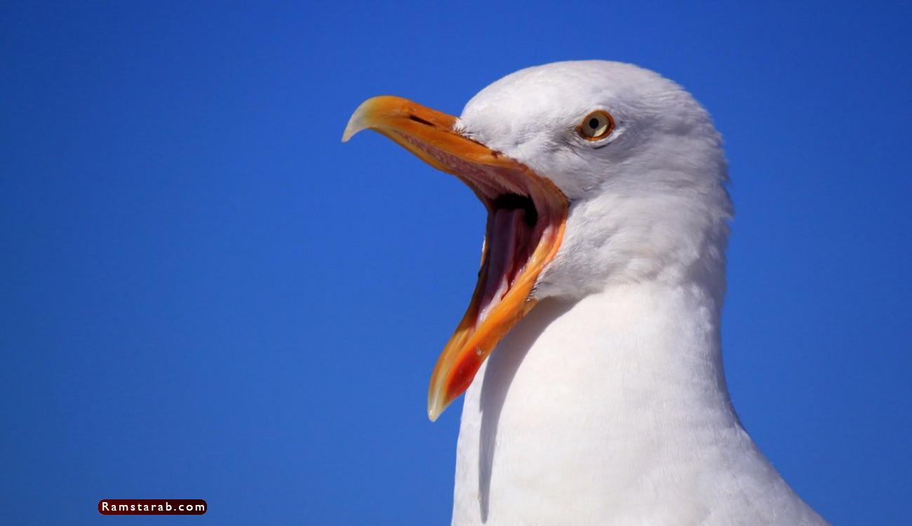 طائر النورس22