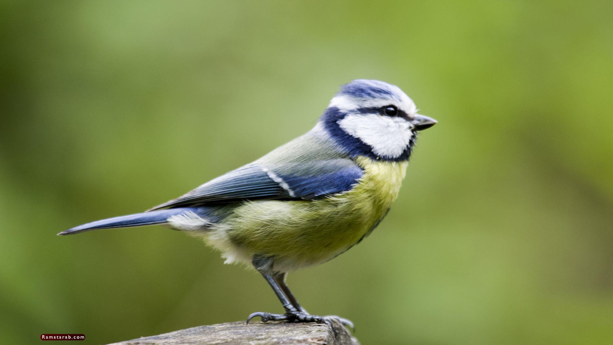 صور طيور21