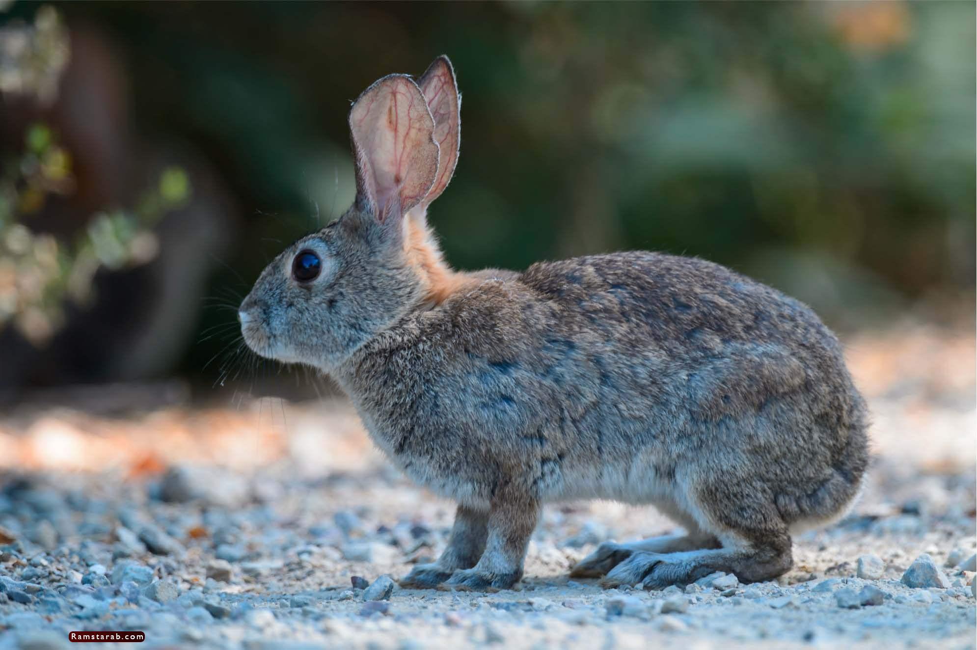 صور ارنب8