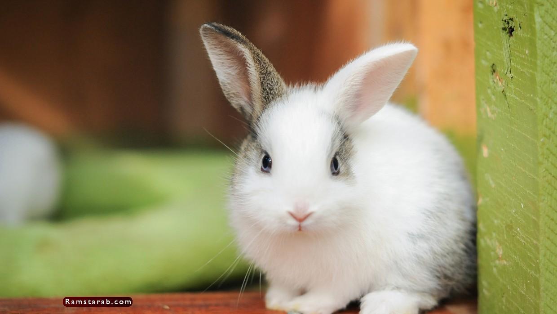 صور ارنب10