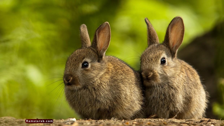 صور ارنب4