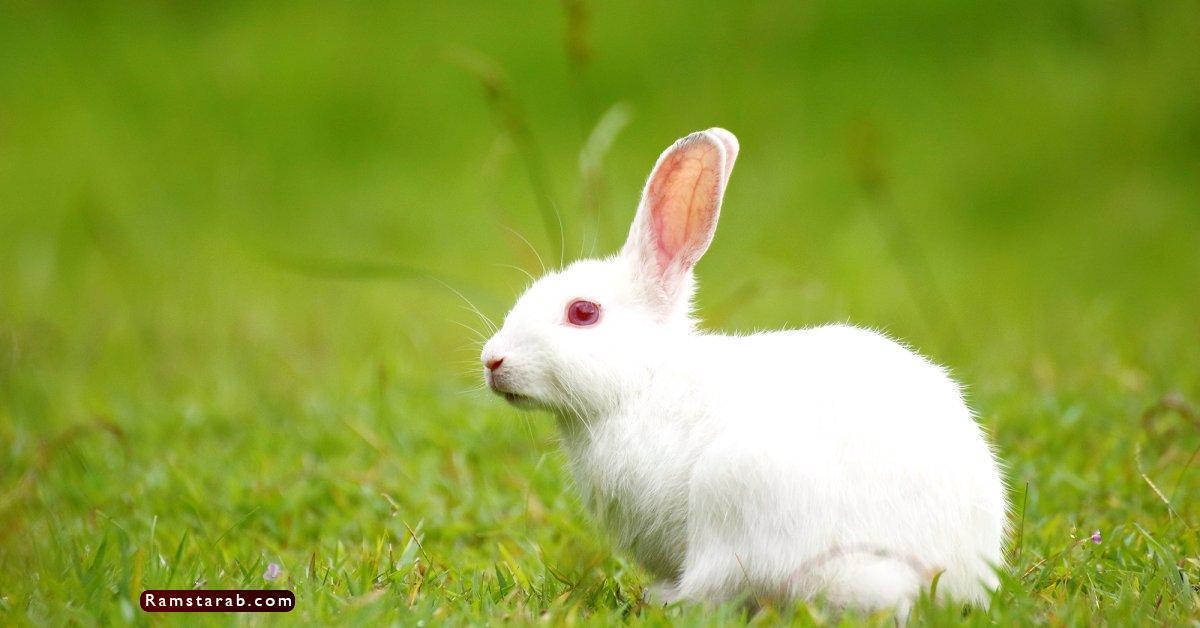 صور ارنب